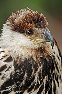 African fish eagle (Haliaeetus vocifer) immature, portrait, found in Africa, captive, France, Europe