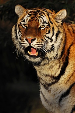 Siberian Tiger or Amur Tiger (Panthera tigris altaica), portrait, native to Asia, in captivity, Netherlands, Europe