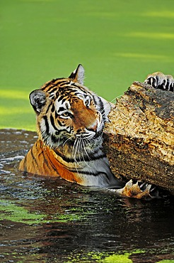 Siberian Tiger or Amur tiger (Panthera tigris altaica) in the water, native to Asia, in captivity, Netherlands, Europe