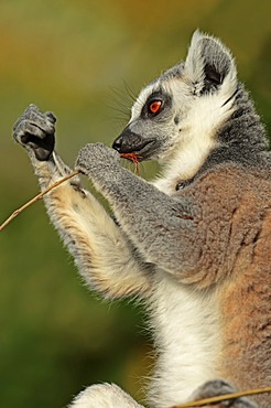 Ring-tailed Lemur (Lemur catta), native to Madagascar, in captivity, North Rhine-Westphalia, Germany, Europe