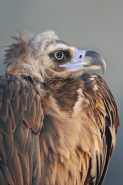 Cinereous Vulture, Black Vulture or Monk Vulture (Aegypius monachus), portrait, native to Southern Europe and Central Asia, in captivity, North Rhine-Westphalia, Germany, Europe