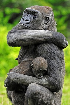 Western Lowland Gorilla (Gorilla gorilla gorilla), female with young, native to Africa, in captivity, Netherlands, Europe