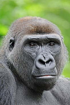 Western Lowland Gorilla (Gorilla gorilla gorilla), male, portrait, native to Africa, in captivity, Netherlands, Europe