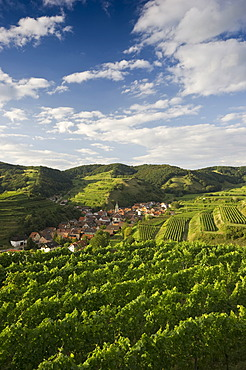 Vineyards near Schelingen, Kaiserstuhl range, Baden-Wuerttemberg, Germany, Europe