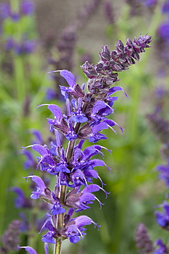 "Woodland sage (Salvia nemorosa ""May Night""), Maximilianpark, Maxipark, Hamm, Ruhr Area, North Rhine-Westphalia, Germany, Europe"