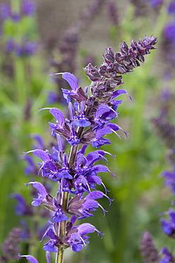 "Woodland sage (Salvia nemorosa ""May Night""), Maximilianpark, Maxipark, Hamm, Ruhr Area, North Rhine-Westphalia, Germany, Europe"