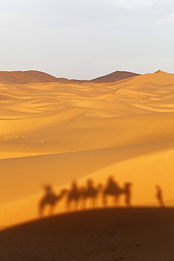 A caravan is casting a shadow on the dunes, Dromedary or Arabian Camels (Camelus dromedarius) near the sand dunes of Erg Chebbi, Erfoud, Meknès-Tafilalet, Morocco, Maghreb, North Africa, Africa