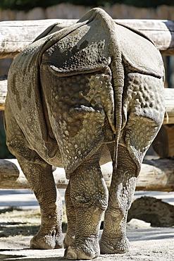 Hindquarters of a Rhinoceros (Rhinoceros unicornis), Tiergarten Schoenbrunn Zoo, Vienna, Austria, Europe