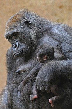 Western Lowland Gorilla (Gorilla gorilla gorilla), mother and baby, captive, African species, zoo animals, Lower Saxony, Germany, Europe