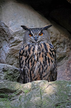 Eurasian Eagle-Owl (Bubo bubo), captive, Bavarian Forest National Park, Bavaria, Germany, Europe
