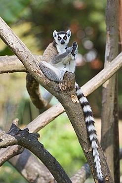 Ring-tailed Lemur (Lemur catta) in a tree, Near Threatened, Madagascar, Africa