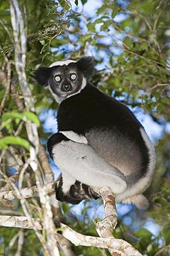 Indri or Babakoto (Indri indri) sitting in a tree, Perinet Analamazoatra Reserve, Madagascar, Africa