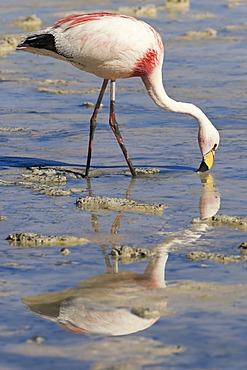 Puna or JamesÂ's Flamingo (Phoenicoparrus jamesi), Laguna Hedionda, Potosi, Bolivia, South America