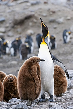 King penguin (Aptenodytes patagonicus) feeding a chick, St. Andrews Bay, South Georgia Island