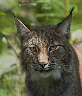 Eurasian Lynx (Lynx lynx), portrait, Sweden, Europe