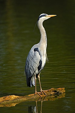 Grey Heron (Ardea cinerea) perched on a tree trunk in a lake