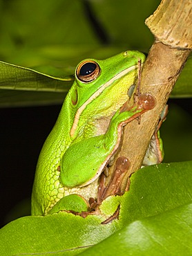 White-lipped Tree Frog (Litoria infrafrenata), rainforest, Iron Range National Park, Cape York Peninsula, northern Queensland, Australia