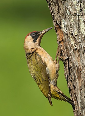 European Green Woodpecker (Picus viridis), Bitburg, Rhineland-Palatinate, Germany, Europe