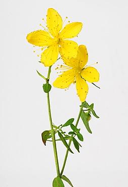 St John's wort, Tipton's Weed, Chase-devil, or Klamath weed (Hypericum perforatum), medicinal plant