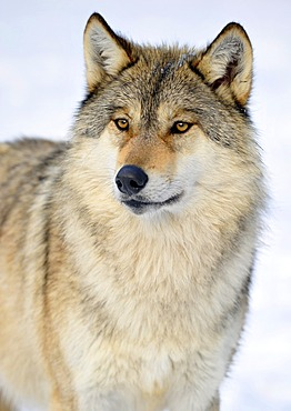 Mackenzie valley wolf, Canadian timber wolf (Canis lupus occidentalis) in the snow, portrait