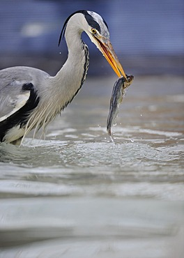 Grey Heron (Ardea cinerea) in an urban environment, feeding on fish, Stuttgart, Baden-Wuerttemberg, Germany, Europe