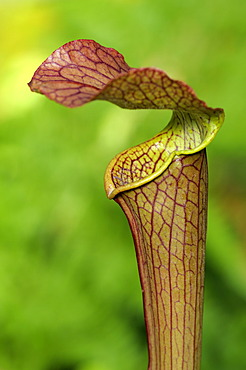 Cobra Lily (Darlingtonia californica, California pitcherplant), carnivorous plant