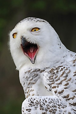 Snowy owl (Bubo scandiacus, Nyctea scandiaca), portrait, Hesse, Germany, Europe