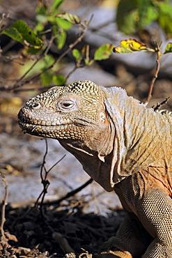 Galapagos Land Iguana (Conolophus subcristatus), island of Santa Fe subspecies, Galapagos Islands, UNESCO World Heritage Site, Ecuador, South America