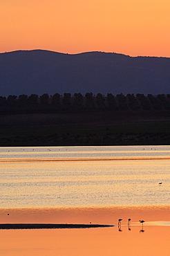 Fuente de Piedra Lagoon at sunset, Greater Flamingos (Phoenicopterus ruber), Málaga province, Andalusia, Spain, Europe