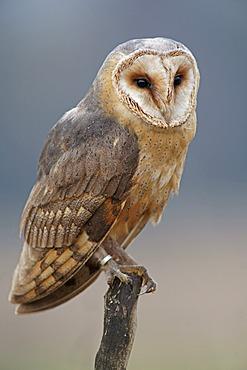Barn Owl (Tyto alba), in captivity, Czech Republic, Europe
