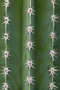 Close-up of a Pachycereus Cactus