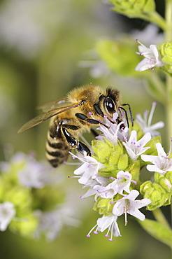 European honey bee or western honey bee (Apis mellifera) on flowering marjoram (Origanum majorana), Germany, Europe