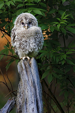 Ural Owl (Strix uralensis), juvenile