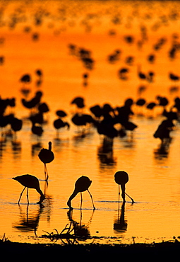 Lesser Flamingo (Phoenicopterus minor) flock in water, Kimberley, Northern Cape, South Africa, Africa