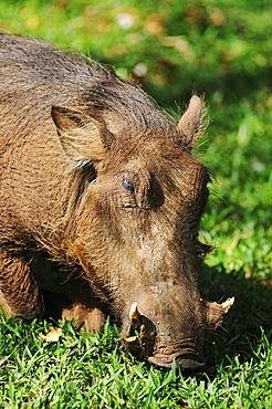 Warthog (Phacochoerus), Victoria Falls, Zimbabwe, Africa