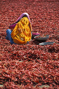 Women wearing colourful saris during the chili harvest, Madhya Pradesh, India, Asia