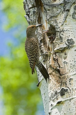Common Flicker, Northern Flicker (Colaptes auratus), Grand Teton National Park, Wyoming, USA, North America