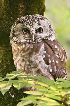 Tengmalm's Owl or Boreal Owl (Aegolius funereus), Bavarian Forest National Park, Bavaria, Germany, Europe