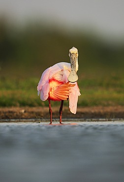 Roseate Spoonbill (Ajaia ajaja), immature preening, Dinero, Lake Corpus Christi, South Texas, USA
