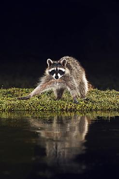 Northern Raccoon (Procyon lotor), adult at night at pond, Dinero, Lake Corpus Christi, South Texas, USA