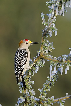 Golden-fronted Woodpecker (Melanerpes aurifrons), male on icy branch, Dinero, Lake Corpus Christi, South Texas, USA