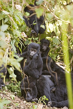"Habituated group of mountain gorillas (Gorilla beringei beringei), Bwindi Impenetrable Forest National Park, being studied by scientists from the Max Planck Institute for Evolutionary Anthropology Leipzig, image showing ""Happy"", male baby, born September"