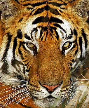 Tiger (Panthera tigris), portrait, Bandhavgarh National Park, Madhya Pradesh, India, Asia