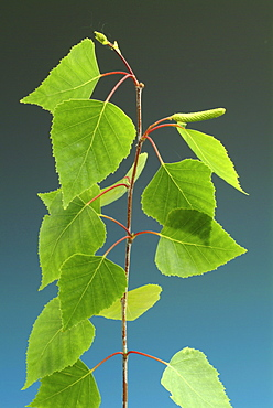 Silver Birch, European Weeping Birch or European White Birch (Betula pendula) leaves
