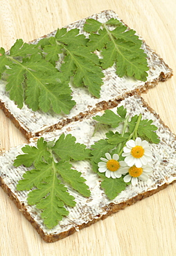 Feverfew (Chrysanthemum parthenium), fresh leaves on buttered bread, medicinal herb used to treat migraines