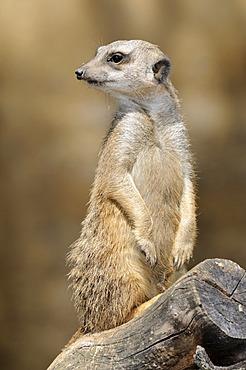 Meerkat (Suricata suricatta), watching out