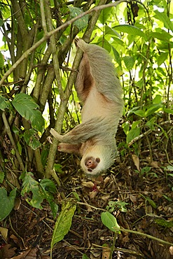 Hoffmann's two-toed sloth (Choloepus hoffmanni), hanging upside down in a tree, La Fortuna, Costa Rica, Central America