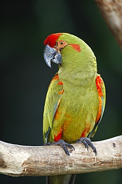 Red-fronted Macaw (Ara rubrogenys), adult bird in a tree, South America