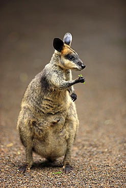 Pretty-faced Wallaby (Macropus parryi), adult, eating, Lamington National Park, Queensland, Australia