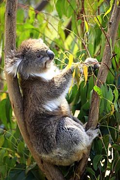 Koala (Phascolarctos cinereus), adult in tree feeding on Eucalyptus, Australia